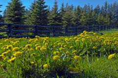 Flowers. A lot of dandelion flowers in a green meadow Royalty Free Stock Photos
