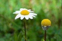 Flowers. Daisy VS another daisy royalty free stock photos