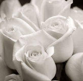 Flowers. A simple shot of white roses in black and white. Good focus and texture overall Royalty Free Stock Images