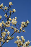 Flowers. The white flowers in the blue sky in spring Stock Photo