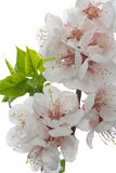 Flowers. Flowering branch with blossom out leafs Stock Image