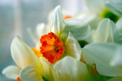 Flowers. White - orange flowers, narcissuses Royalty Free Stock Photos