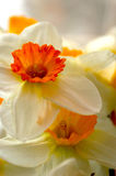 Flowers. White - orange flowers, narcissuses Royalty Free Stock Photo
