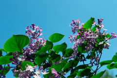 Flowers. Lilac on a background of the sky Stock Images