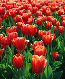 Flowers. Field of tulips Stock Photo