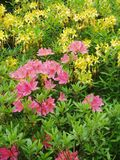 Flowers. Yellow, pink and red rhododendrons Royalty Free Stock Photography