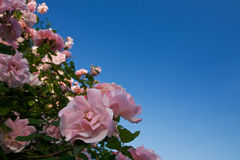 Flowers. Pink flowers with blue sky Stock Photography