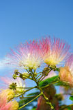 Flowers of acacia Stock Photography