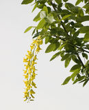 Flowers of an acacia. Cluster yellow flowers of an acacia Stock Photography