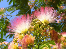 Flowers of acacia (Albizzia julibrissin) Stock Photo