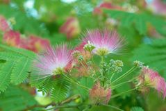 Flowers of acacia Stock Image