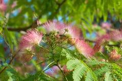 Flowers of acacia Stock Image