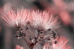 Flowers of acacia Stock Photo
