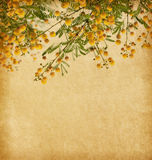 Flowers of acacia Royalty Free Stock Photography