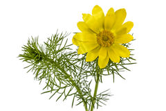 Flowers of Adonis, lat. Adonis vernalis, isolated on white backg Royalty Free Stock Images