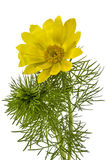 Flowers of Adonis, lat. Adonis vernalis Stock Photos