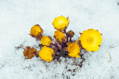 Flowers Adonis among snow Royalty Free Stock Image