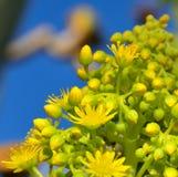 Flowers of aeonium undulatum. Wild flowers of aeonium undulatum Royalty Free Stock Photos
