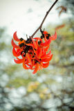Flowers of African tulip tree Royalty Free Stock Photos