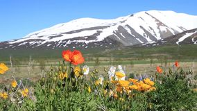 Flowers against the background of snowy mountains Stock Photography