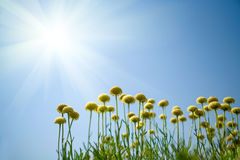 Flowers against blue sky. Yellow flowers and bright sun on blue sky Royalty Free Stock Photography