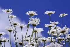 Flowers Against Blue Sky. Oxeye daisies (Chrysanthemum leucanthemum) against the blue sky Royalty Free Stock Images