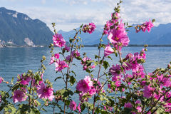 Flowers against mountains and lake Geneva Royalty Free Stock Image