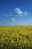 Flowers against sky. Beautiful flowers horizont loosing into blue sky Royalty Free Stock Photo