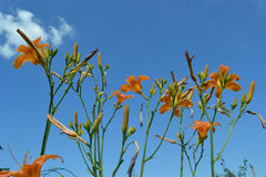 Flowers against the sky. Orange lily on a background of clear sky royalty free stock images