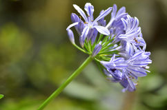 Flowers of the Agapanthus Stock Photo