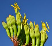 Flowers of agave. Floral buds of agave that begin to bloom Royalty Free Stock Photography