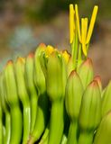Flowers of agave. Floral buds of agave that begin to bloom Royalty Free Stock Photos