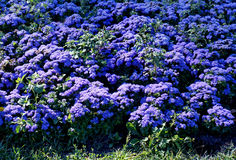 Flowers  Ageratum in a park Stock Images