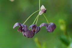Flowers of Akebia quinata. Diclinous plant / Flowers of Akebia quinata royalty free stock photo