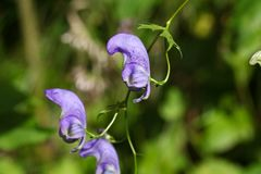 Flowers of an Akonite (Aconitum variegatum). An extremely poisonous plant Stock Photo