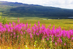 Flowers on Alaska Stock Image