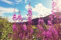 Flowers in Alaska Royalty Free Stock Photos