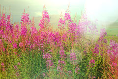 Flowers on Alaska Stock Photography