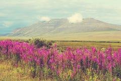 Flowers on Alaska Royalty Free Stock Photography