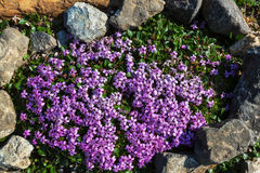 Flowers in Alaska Stock Photography