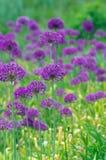Flowers of allium Stock Image