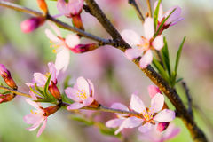 Flowers of almond tree. Macro of flowers of almond tree. Shallow DOF, focus on stamens royalty free stock images