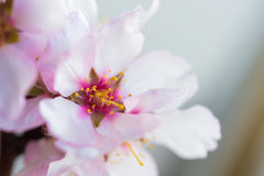 Flowers of an almond tree, a blossoming. Macro. Close-up. Royalty Free Stock Images