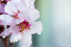 Flowers of an almond tree, a blossoming. Macro. Close-up. Royalty Free Stock Photos