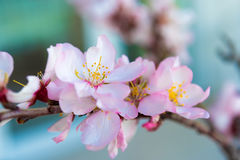 Flowers of an almond tree, a blossoming. Macro. Close-up. Royalty Free Stock Photography