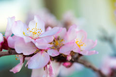 Flowers of an almond tree, a blossoming. Macro. Close-up. Stock Photography
