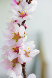 Flowers of an almond tree, a blossoming. Macro. Close-up. Vertical. Royalty Free Stock Images