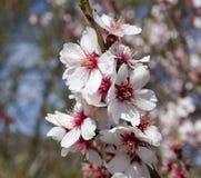 Flowers of almonds, close-up. Stock Photos