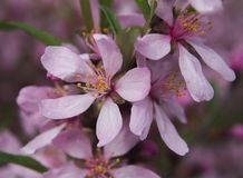 Flowers of almonds. Low or steppe on a branch close up Stock Photo