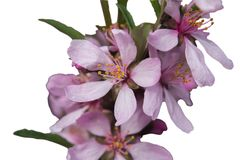 Flowers of almonds. Low or steppe on a branch close up Royalty Free Stock Images
